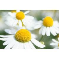 Buy cheap High Quality Chamomile Flower Extract Apigenin from wholesalers