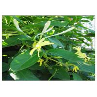 China Anti Virus Honeysuckle Flower Extract , Lonicera Japonica Flower Extract CAS 327 97 9 on sale