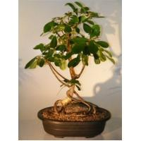 Buy cheap ficus microcarpa mini bonsai trees (Nursery) from wholesalers