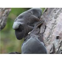 Buy cheap black fungus It's also called wood ear mushroom, wood ear fungus from wholesalers