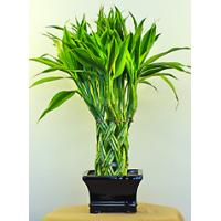 Buy cheap Indoor Green Ornamental Plants (braided lucky bamboo plant) from wholesalers