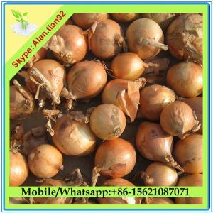 China Fresh Onion on sale