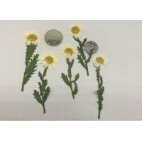 Fashion Dried Pressed Flowers White Chrysanthemum / Stem For Leaf Vein Bookmark Gifts