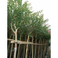 Buy cheap Virescence Tree from wholesalers