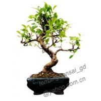 Buy cheap Ficus/Layered/Bonsai/Potplant/Indoor Plant from wholesalers
