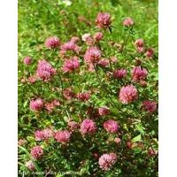 Buy cheap 100% Natural bulk Red Clover P.E. Extract Isoflavones 2.5% 8% 20% 40% from wholesalers
