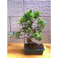 Buy cheap Ficus Microcarpa Bonsai from wholesalers