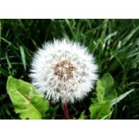 Buy cheap Supply Dandelion Extract Powder from wholesalers