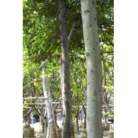 Buy cheap Street Tree Ficus from wholesalers