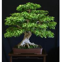 Buy cheap Both for Indoor and Outdoor: Artificial Gingseng Ficus Mini Bonsai (Grafted) from wholesalers