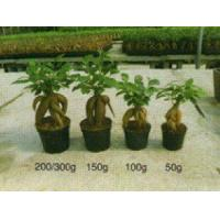 Buy cheap Ficus Ginseng/Bonsai/Indoor Plant from wholesalers