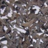 Buy cheap Wood Ear/ Black Fungus from wholesalers