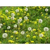 Buy cheap China Dandelion Extract from wholesalers