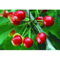 Buy cheap Pure Natural Cherry Extract/Pure Natural Acerola Cherry Extract from wholesalers