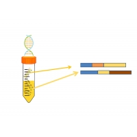 Buy cheap Single Nucleotide Polymorphism Genotying SNP Sites Information Cellular Molecular Biology from wholesalers