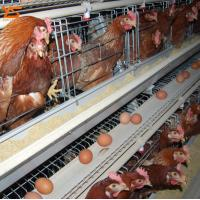 Buy cheap Used Poultry Battery Cages for Sale Poultry Equipment Price WhatsApp:+8615638238763 from wholesalers