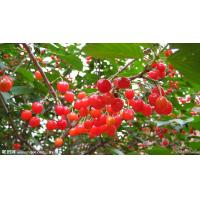 Buy cheap Natural Acerola Cherry Extract from wholesalers