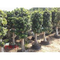 Buy cheap Layer ficus microcarpa bonsai from wholesalers