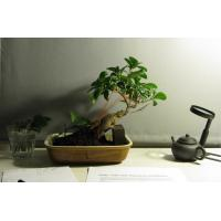 Buy cheap Grafted indoor ficus mini bonsai tree from wholesalers