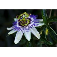 Buy cheap organic passiflora caerulea extract free samples --Passiflora incarnata L. Flavones 3%(UV) from wholesalers