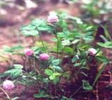 Buy cheap Red Clover P.E. from wholesalers