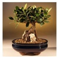 Buy cheap Ficus indoor mini plant(Un-grafted) from wholesalers