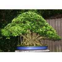 Buy cheap ficus microcarpa bonsai nursery (Ficus ginseng) from wholesalers