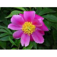Buy cheap Water-soluble Paeonia lactiflora P.E. product