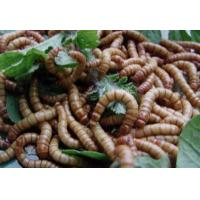 Buy cheap Dried Mealworms from wholesalers