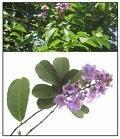 Buy cheap Banaba leaf extract, Corosolic acid 1%~98% By HPLC from wholesalers