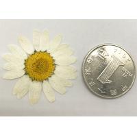 White Chrysanthemum Dried Flower Diameter 3 CM For DIY Teaching Specimen
