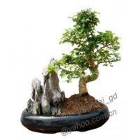 Buy cheap Ligustrum/With Rock/Bonsai/Potplant/Indoor Plant/ from wholesalers