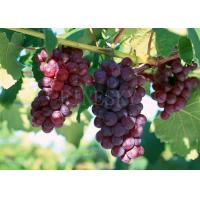 Buy cheap Grape seed P.E. as natural dietary supplementation from wholesalers