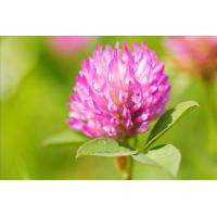 Buy cheap Natural Red Clover Extract 8%~40% Isoflavones from wholesalers