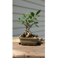 Buy cheap (ficus microcarpa nursery) indoor mini bonsai plants from wholesalers