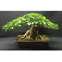 Buy cheap Ficus Ginseng bonsai (Ficus microcarpa) Nursery from wholesalers