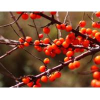Buy cheap Sea buckthorn polysaccharide,extracted from the Hippophae rhamnoides Linn,natural extract from wholesalers