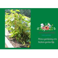 Medium Garden Plant Trellis / Cucumber Plant Trellis Powder Coated Steel
