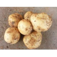 Buy cheap Fresh Yellow Organic Long Potatoes With Complete Body / Rich Starch from wholesalers