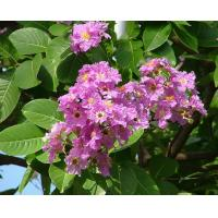 Buy cheap Banaba Leaf P. E.1%-98% Corosolic Acid from wholesalers