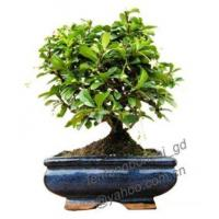 Buy cheap Carmona/Ball-shaped/Bonsai/Potplant/Indoor Plant from wholesalers