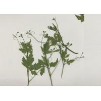 Buy cheap Green Pressed Flower Artwork , Decoration Pea Plant Drying And Pressing Flowers from wholesalers