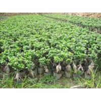 Buy cheap Ficus Microcarpa from wholesalers