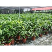 Buy cheap Rhapis Excelsa from wholesalers