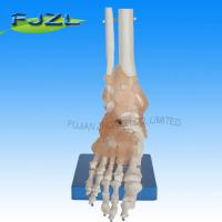 Buy cheap Life-Size Foot Joint with Ligaments product