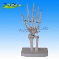 Buy cheap medical model of hand bone for education product