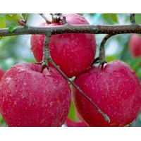 Buy cheap 50%-90%Apple Polyphenols,Pyrus Malus Fruit Extract,Malus sylvestris extract CAS:85251-63-4 from wholesalers