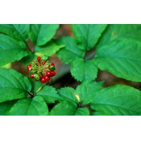 Buy cheap Ginseng is a herbal remedy believed to have a range of therapeutic properties. It has been said to help stress, erectile from wholesalers