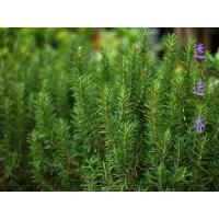 Buy cheap Rosemary Extract, Carnosic Acid 5%-95% HPLC, CAS No.: 3650-09-7, high quality , Chinese manufacturer, Shaanxi Yongyuan from wholesalers
