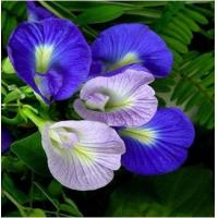Buy cheap Butterfly pea Extract, Butterfly pea Powder, Blue Powder, Chinese manufacturer, Shaanxi Yongyuan Bio-Tech from wholesalers